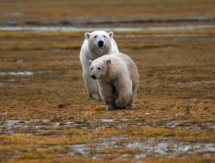 polarbearmomandcubmossawa