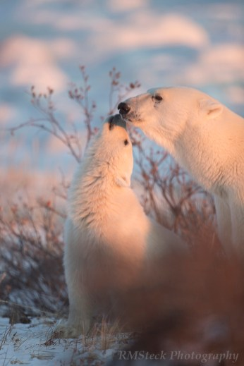 polarbearmomandcubtendermoment