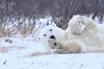polarbearrollingnanuk