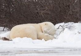 polarbearsleepingsealriver