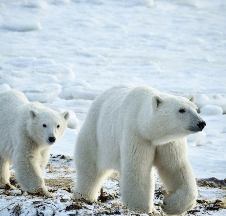 Mom and cub walking by Seal River Heritage Lodge. Photo by Tara Lal on Instagram @taralal