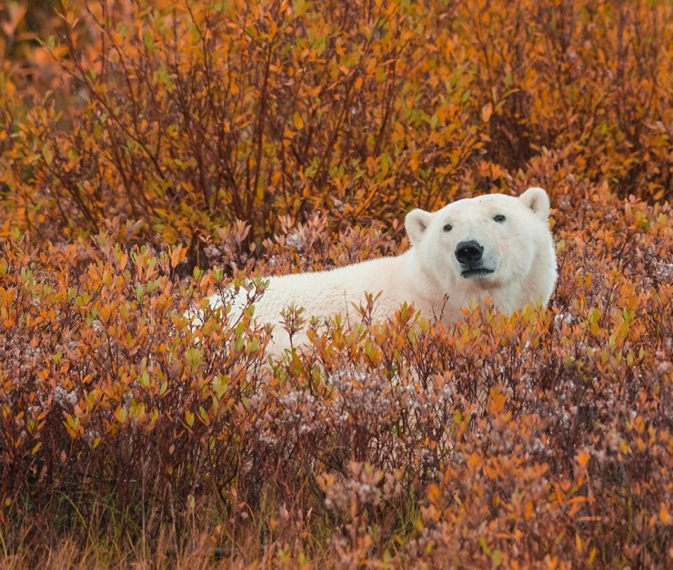 White on orange at Nanuk Polar Bear Lodge