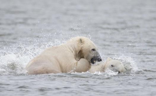 PolarBearsWrestlingInHudsonBayGlatzer