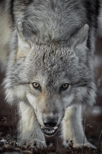 Wolves are common at Nanuk Polar Bear Lodge.