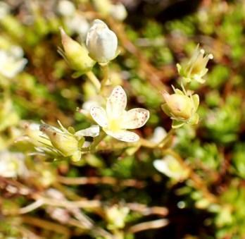 Prickly saxifrage. Chris Evans photo