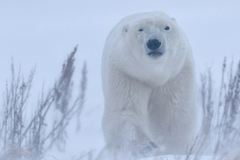 Polar bear emerges from snow at Dymond Lake Ecolodge. Great Ice Bear Adventure. Robert Postma photo.