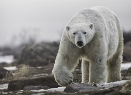 Big polar bear at Seal River Heritage Lodge. Robert Postma photo.