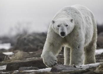 Big polar bear at Seal River Heritage Lodge. Robert Postma photo.