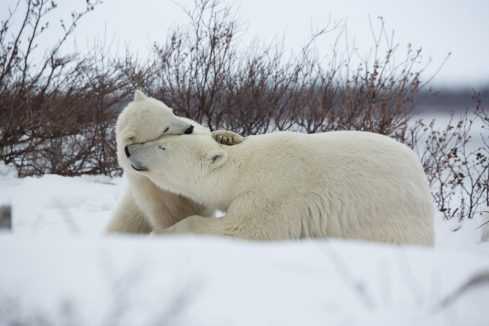 Polar bear cub has a hug for Mom at Seal River Heritage Lodge. Vikram Sahai photo.