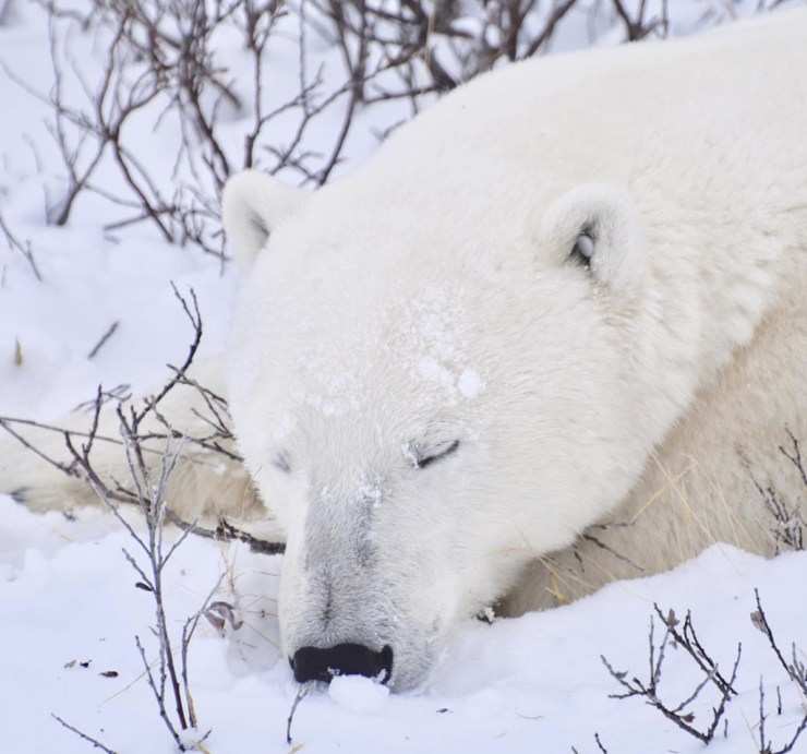 Sweet dreams for a Great Ice Bear. Tammy Donly photo.
