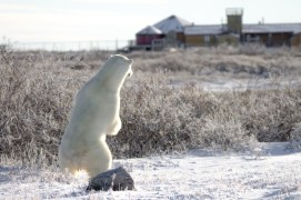 polar-bear-looking-at-seal-river-heritage-lodge-Tiffany-Lacey
