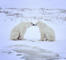 polar-bear-love-dymond-lake-ecolodge-tammy-donly