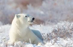 Peaceful polar bear at Seal River Heritage Lodge. Missy Mandel photo.