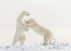 Polar bears pushing each other around at Seal River Heritage Lodge. Gillian Lloyd photo.