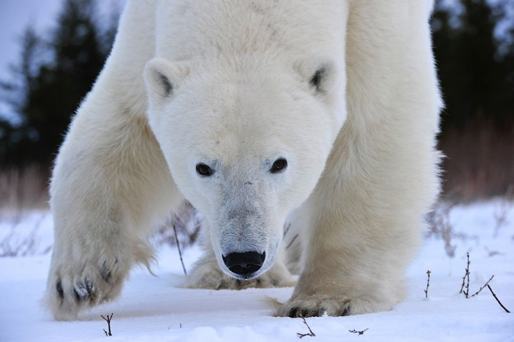 Up close and agile. Nanuk Polar Bear Lodge. Ian Johnson photo.