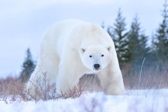big-healthy-polar-bear-Churchill-Wild-Nanuk-Ian-Johnson