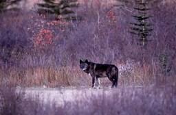 black-wolf-Nanuk-Polar-Bear-Lodge-Ian-Johnson