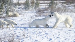 female-polar-bear-defending-cubs-churchill-wild-ian-johnson
