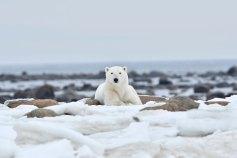 handsome-polar-bear-Churchill-Wild-Seal-River-Ian-Johnson