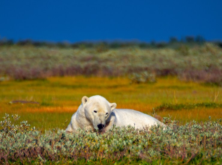 Polar bear relaxing at Nanuk Polar Bear Lodge.