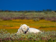 polar-bear-in-grass-Nanuk-Polar-Bear-Lodge-Cheryl-Hnatiuk