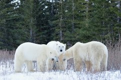 polar-bear-meeting-Churchill-Wild-Nanuk-Ian-Johnson