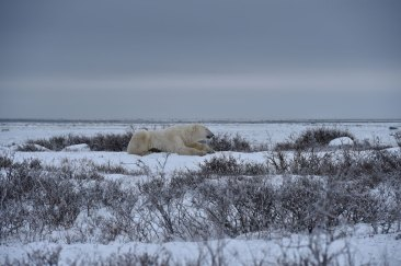 polar-bear-waiting-for-ice-Churchill-Wild-Seal-River-Ian-Johnson