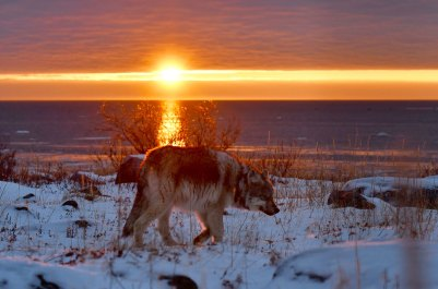 Sun setting on a wolf. Seal River Heritage Lodge. Ian Johnson photo.