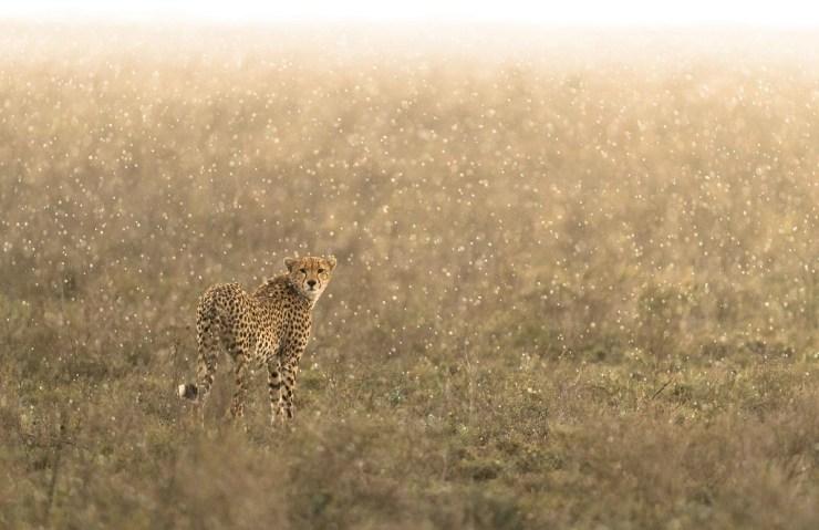 Cheetah. Ndutu, Tanzania.