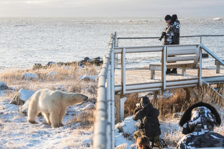 All Churchill Wild lodges have outdoor compounds surrounded by specialized fencing. Jad Davenport photo.