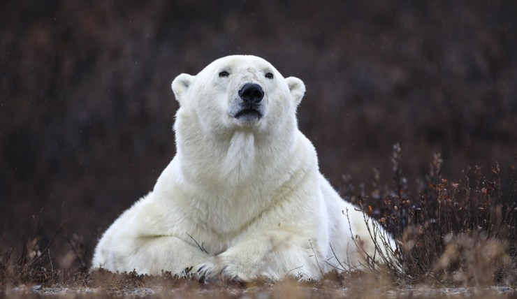 No question who the boss is here. Photo by guest Sheree Jensen on the Hudson Bay Odyssey at Nanuk Polar Bear Lodge.