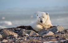 2nd Place - Polar Bears - Trisha Lavin - Polar Bear Photo Safari at Nanuk