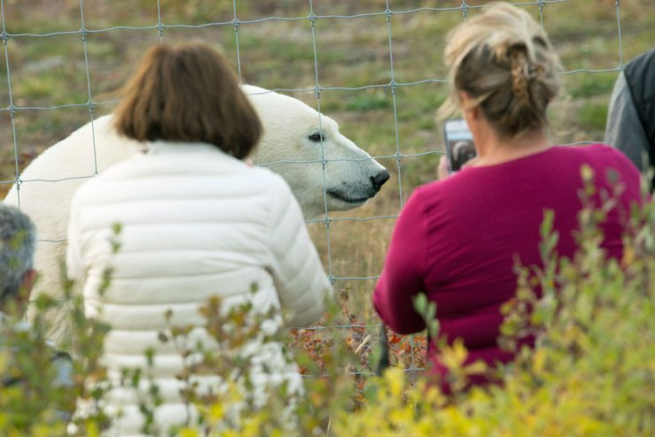 Polar bear safety procedures and protocols are a top priority at Churchill Wild. Robert Postma photo.