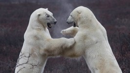Polar bears sparring. Great Ice Bear Adventure. Dymond Lake Ecolodge. Robert Postma photo.