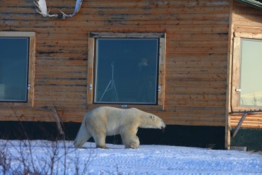 Polar bear walks by window at Dymond Lake Ecolodge. Great Ice Bear Adventure. Churchill Wild. Dafna Bennun photo.