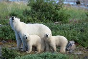 polarbearcubsmothersday5