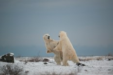 polar-bear-churchill-wild-seal-river-heritage-lodge-arturo-spajani