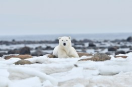 polar-bear-churchill-wild-seal-river-heritage-lodge--ian-johnson