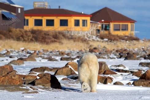 Polar bear walking in snow towards Seal River Heritage Lodge. Judith Herrdum photo.