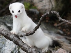Wild ermine at Seal River Heritage Lodge. John Prenner photo.
