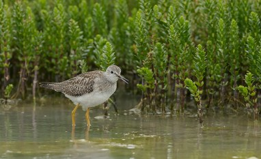 lesser-yellowlegs-churchill-wild-nanuk-polar-bear-lodge-charles-glatzer