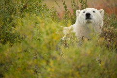 polar-bear-churchill-wild-nanuk-polar-bear-lodge-robert-postma