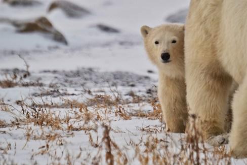 Peek-a-boo polar bear cub and Mom at Seal River Heritage Lodge. Christina Jansa photo.