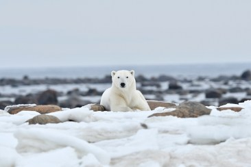 Perfect polar bear pose at Seal River Heritage Lodge. Ian Johnson photo.