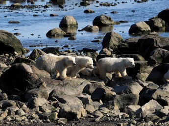 Triplet polar bear cubs. Seal River Heritage Lodge. Quent Plett photo.