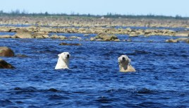 Swimming polar bear buddies at Seal River Heritage Lodge.