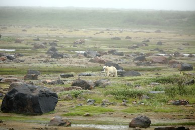 Polar bear walking in the morning mist at Seal River Heritage Lodge. Terry Elliott photo.