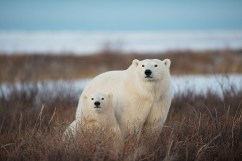polar-bear-mom-cub-churchill-wild-nanuk-polar-bear-lodge