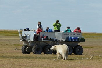 Polar bear meets Tundra Rhino at Nanuk Polar Bear Lodge. Charles Glatzer photo.