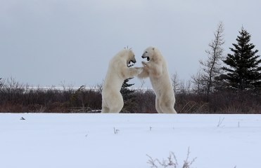 polar-bear-sparring-churchill-wild-nanuk-polar-bear-lodge-soren-hansen